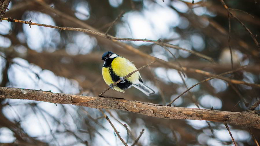 Low angle view of bluetit perching on branch