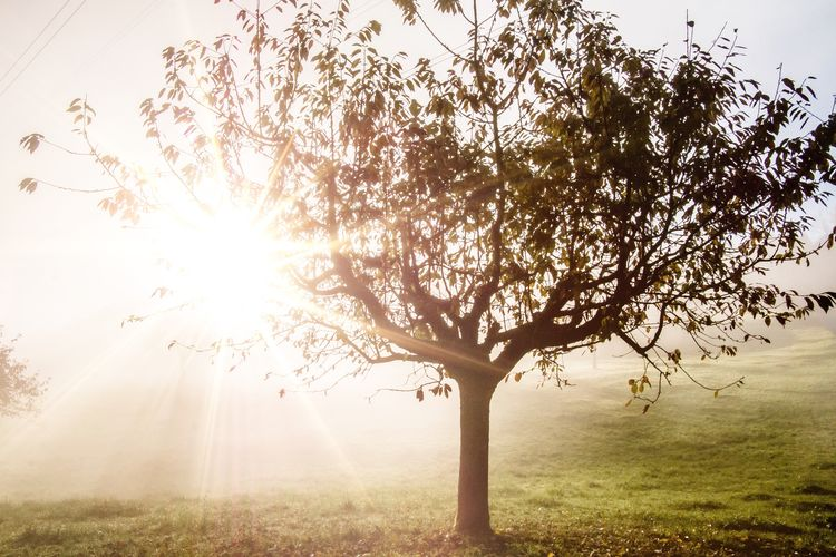 Nature Tree Sunlight Beauty In Nature Sun Sunbeam No People Outdoors Idyllic Growth Landscape Grass Scenics Fog Day Sky