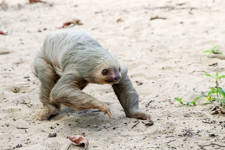 Sloth walking on sand at beach