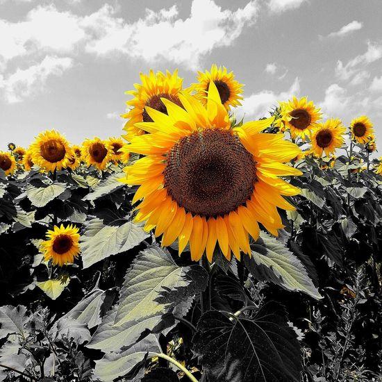 Flower Head Flower Black-eyed Susan Yellow Sunflower Petal Close-up Sky Blooming Plant