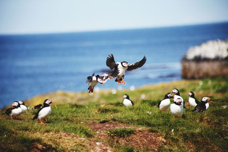 A puffin landing party