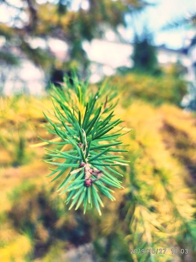 Close-up of pine tree in field