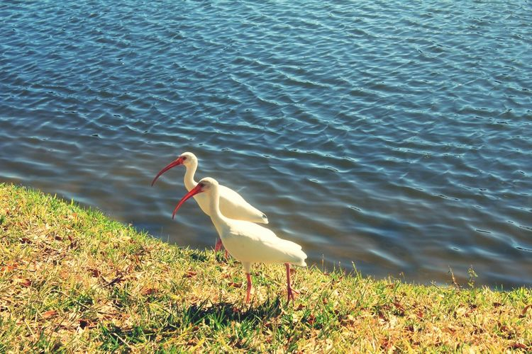Bird Water Animal Themes Grass No People Ibis Two Rippled Water Shore Walking EyeEm Diversity White White Birds Beaks Long Beaked Bird Fine Art Photograhy From My Polnt Of View High Angle View Twins Beauty In Nature Shore Blue Blue Water Look Alikes