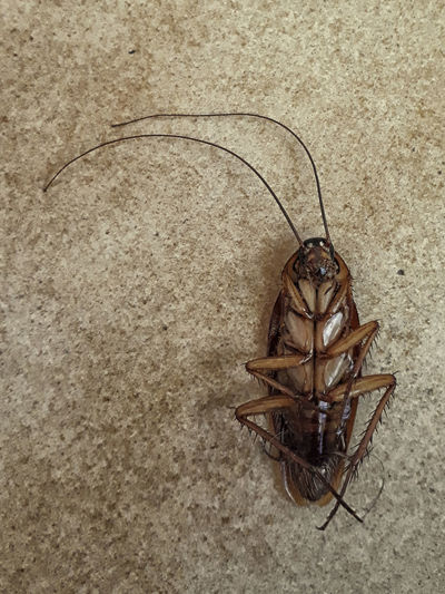 Animal No People Animal Themes Animal Wildlife Invertebrate Close-up Wall - Building Feature One Animal Indoors  Insect Animals In The Wild Brown High Angle View Directly Above Flooring Nature Copy Space Marine Cocroach