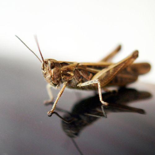 кузнечик насекомые Close-up макро Insect Zoology Grasshopper Nature Extreme Close Up Macro