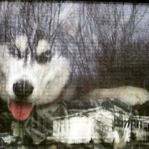 Boss Dog. Photograph Shot and Editedbyme Oddronuc Dorklyfeartistry Photographer Digitalartist Artist Painter Producer Emcee Vocalist Modeling by DamienDaPup Dog Bro BIG Puppy Trees Reflection Husky Adorable Photo