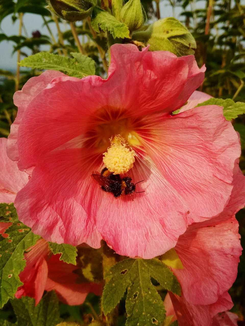 flower, petal, fragility, flower head, insect, animal themes, nature, pollen, beauty in nature, one animal, animals in the wild, growth, freshness, outdoors, day, plant, no people, animal wildlife, pink color, bee, hibiscus, close-up, blooming, stamen, red, pollination