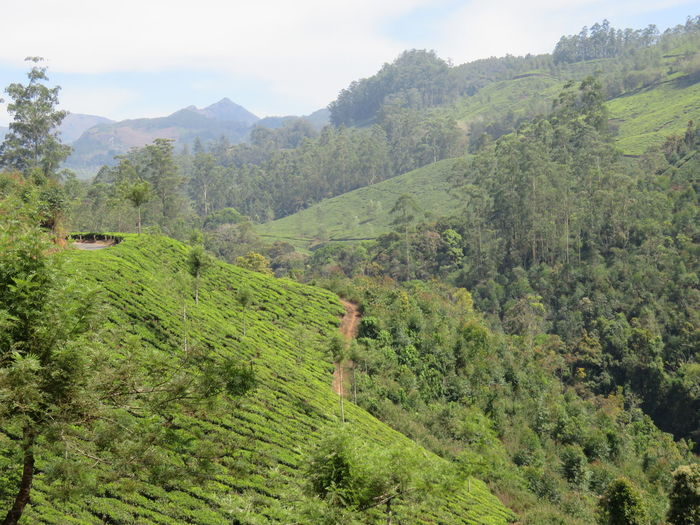 Munnar Valleys Beauty In Nature Day Forest Grass Green Green Color Growth Hill Idyllic Landscape Lush Foliage Mountain Mountain Range Nature No People Non-urban Scene Outdoors Plant Remote Scenics Sky Tranquil Scene Tranquility Tree Valley