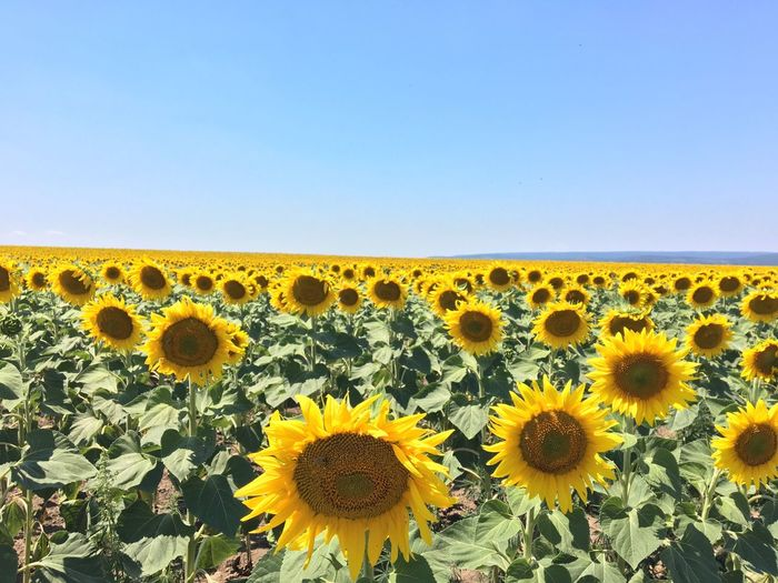 Sunflowers Blooming On Field Against Clear Sky