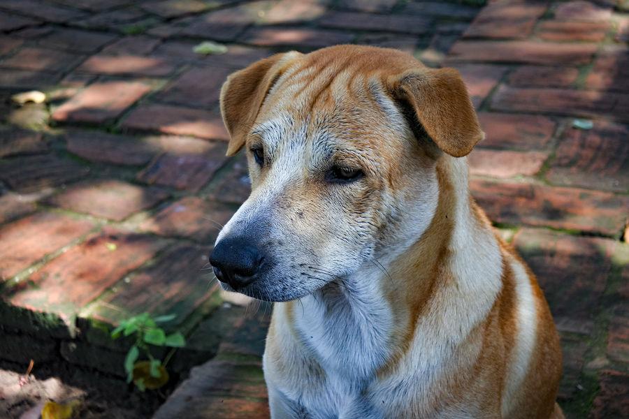 Sadly Dog Dogslife Sad Sadness Pets Dog Portrait Protruding Close-up Animal Tongue Animal Mouth Animal Nose Animal Eye Animal Ear Animal Head  Animal Face