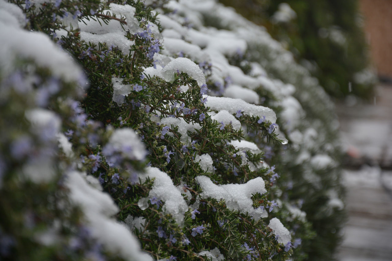 CLOSE-UP OF SNOW COVERED PLANTS AGAINST BLURRED TREES