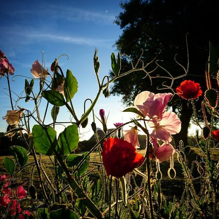 La poésie d'un jardin printanier Growth Nature Flower Freshness Beauty In Nature Tree No People Plant Outdoors Nature Bonheursimple FinistèreNord Amapolas Finistere Beauty In Nature Flowers Spring Flowers Naturelovers Leaf Day Close-up Red Fragility Sky Flower Head