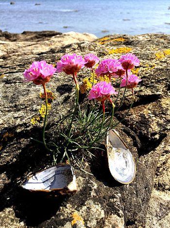 Beuty Of Nature Summer Summertime Iphonephotography IPhoneography Naturephotography Nature Photography Stone Ocean Pink Pink Flower Sea Shells 🐚 Seashell Fragility