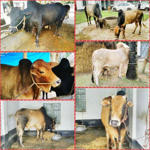 Eiduladha Cows Eid Mubarak