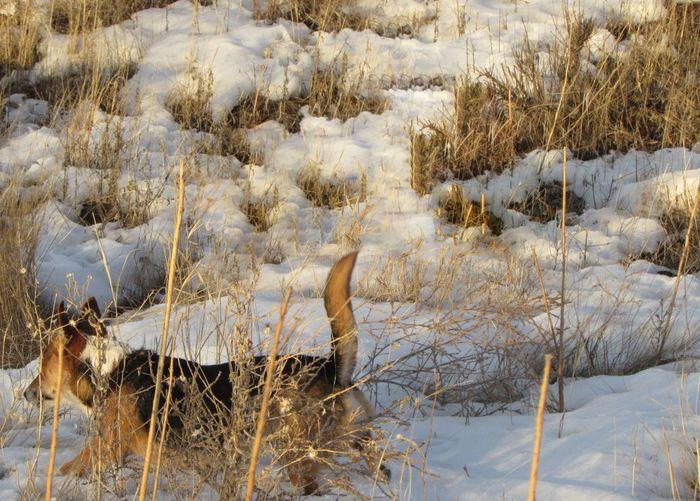 Welsh corgi running on snow covered field