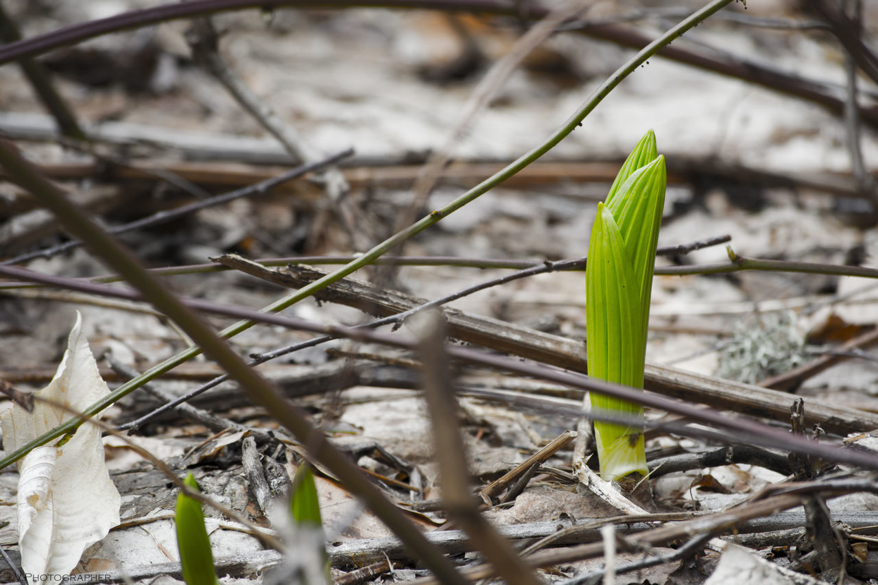growth, plant, green color, day, nature, outdoors, no people, focus on foreground, leaf, beauty in nature, close-up, freshness, fragility, snowdrop