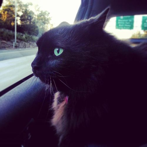 Pickle's road trip back to 'Merica. Mroowww Pant Panic You're okay buddy cat.