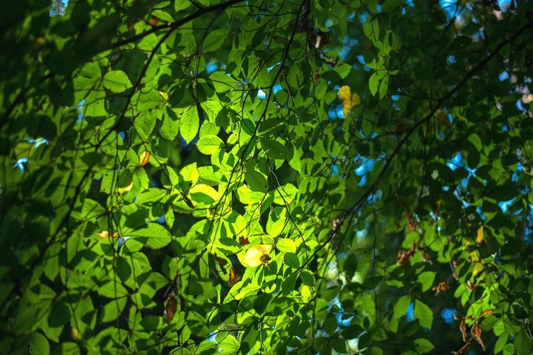 Leaves Nature Growth Green Color Leaf Forest Tree Beauty In Nature Foliage Freshness No People Outdoors Roof Curtain Green Bright Sun Forest Treescape Nikond750 Landscape Skyscape Bokeh Beauty October Autumn