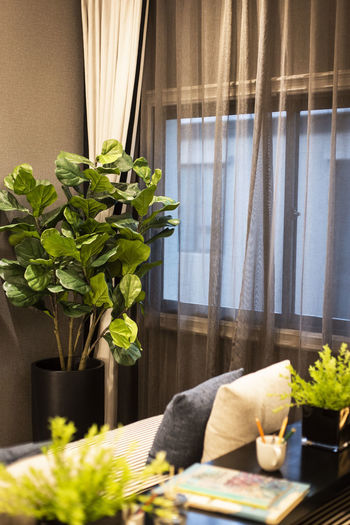 fiddle leaf fig tree in luxury house. Plant Flower Potted Plant Vase Flowering Plant Curtain Table Indoors  Nature Window Home Interior Living Room No People Domestic Room Freshness Growth Furniture Day Sofa Flower Head Houseplant Flower Arrangement Flower Pot Coffee Table Bouquet Fiddle Fig Tree