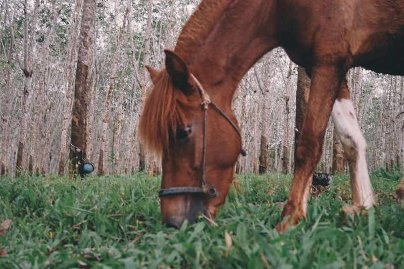 Animal Themes Mammal Horse Domestic Animals Brown Grass Field Nature Outdoors No People Herbivorous Day Livestock Mane Working Animal Pony Tree
