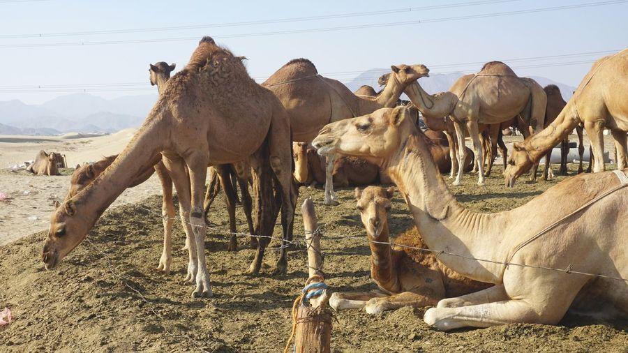 camel at field Safari Animals Group Of Animals Sky Animal Themes Camel Desert Livestock EyeEmNewHere