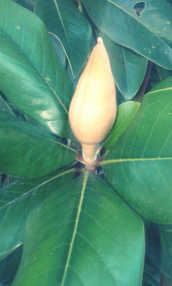 Magnolia Nature Flower