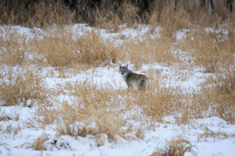 Wolf standing on snowy land by plants during winter