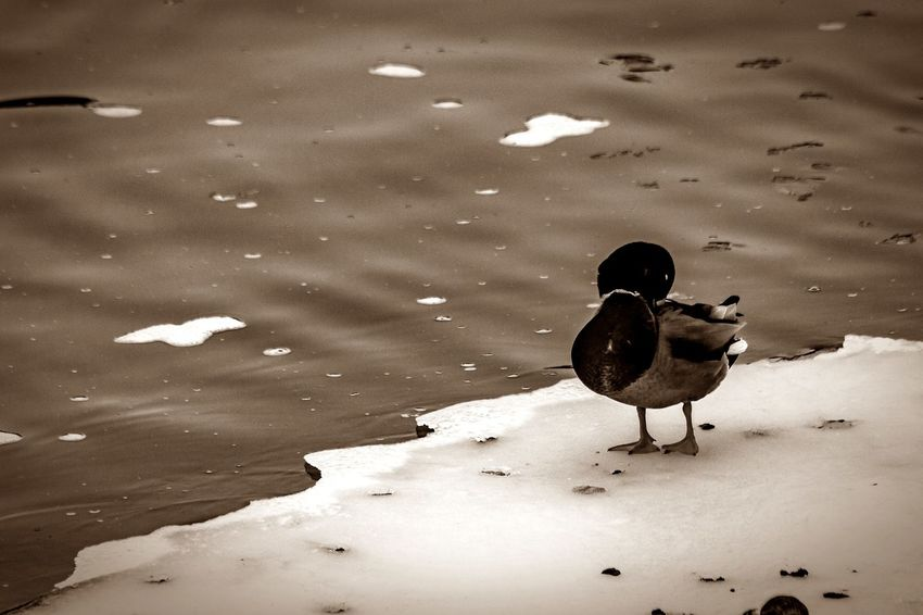 Cold Days Cold Winter ❄⛄ Day Ducks Ice Mallard Duck Nature No People Pairs Preening Birds River Snow Snow Covered Waterfowl Wetlands Winter