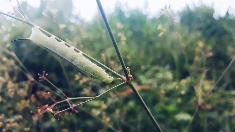 Eyeem Philippines Green Catterpillar Grass