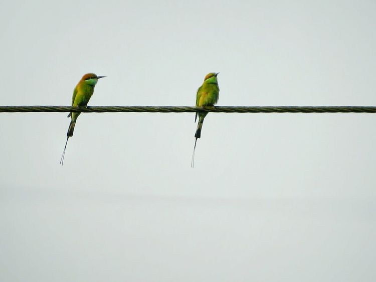 Close To Love Towards Each Other Birds The Birds Series Bee Eater Green Bee Eater Merops Orientalis Passerines Birds Of EyeEm  Birds On A Wire Minimalism Minimalism Photography Miniature Birds And Sky  Negetive Space White Background White Album White Collection Learn & Shoot: Balancing Elements Fine Art Couples In Love Beauty Redefined Tenderness In Jessore, Bangladesh