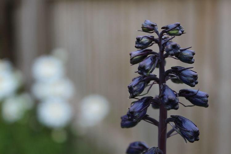 Close-up of purple flowering delphinium plant