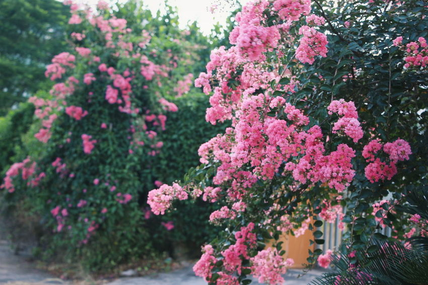 Flower Pink Color Growth Outdoors Day Nature No People Beauty In Nature Fragility Tree Freshness Close-up