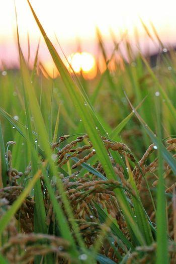Fall Beauty Ear Of Rice Sunrise Nightdew Early Morning Autumn OSAKA Japan