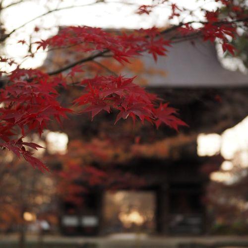 紅葉も最後の最後••• Eyeemnaturelover Nature Cloudy Day Japanesetemple Change Leaf Red Beauty In Nature Nature No People Focus On Foreground Tree Autumn Fragility