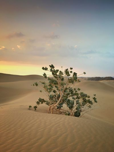 Desert Fine Art Photography Khaled Hmaad Saudi Arabia Landscape Land Sand Sky Plant Scenics - Nature Landscape Tree Sand Dune Nature Day No People Desert Beauty In Nature