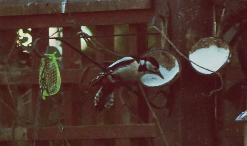 woodpecker in garden