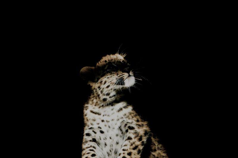 Close-up of leopard against black background