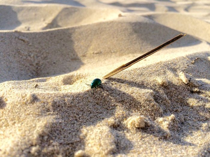 Scarab beetle at beach on sunny day