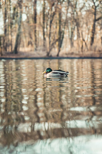 Single drake swimming peacefully in a small pond in Cologne, Germany. Bird Water Animals In The Wild Vertebrate Animal Wildlife Animal Animal Themes Waterfront Lake One Animal Reflection Swimming Tree Beauty In Nature Day Nature No People Duck Water Bird Outdoors Floating On Water