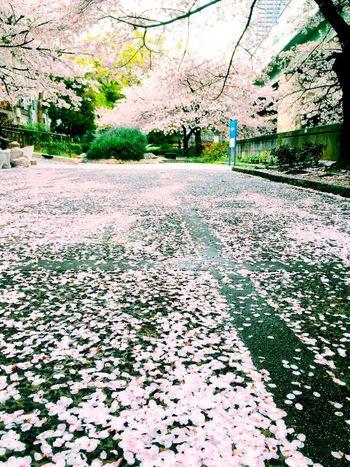 Mylife 桜 Osaka,Japan IPhone5 Flower OSAKA IPhone Film Like