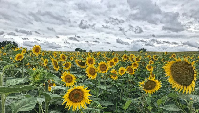 Flower Plant Yellow Flowering Plant Beauty In Nature Sunflower Flower Head Summer Road Tripping