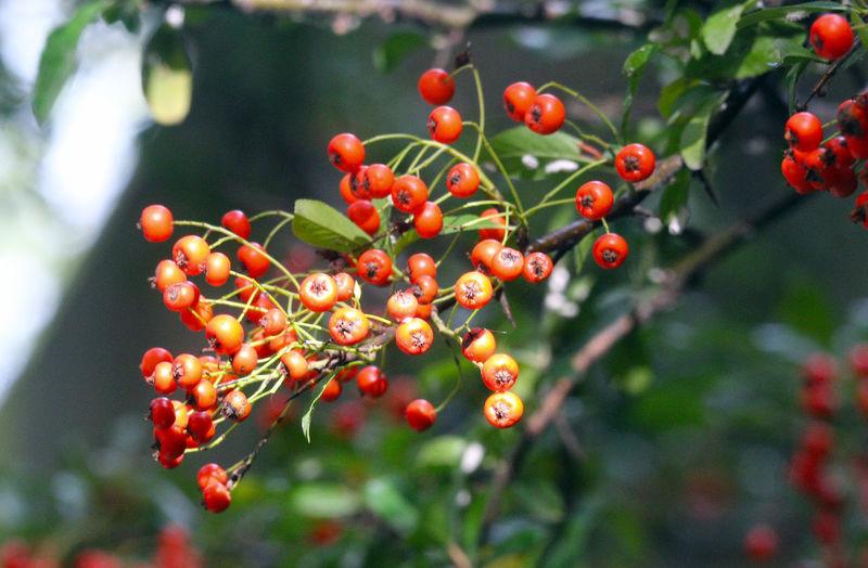 Berrys on a tree in Minoru Park Richmond B.C Canada Outdoors Tree Plant Beauty In Nature Berrys Richmond B.C. Canada