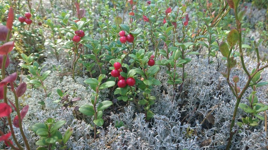 Lingonberries Lingonberrysprig Picking Berries Forest Photography Forest Middle Of Sweden Nature Photography Nature_collection Nature Relaxing Taking Photos Hanging Out