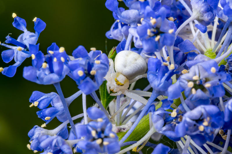 White crab spider waiting inside the purple flowers of the garden shrub californian lilac