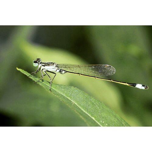 Berjemur Ig_macro Ig_dragonflies Dragonfly_of_the_day Dragonflies bns_macro igglobalclubmacro
