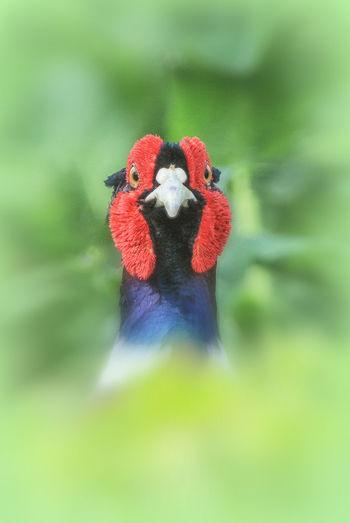 Pheasant Head Close Up Wildlife Wild Nature