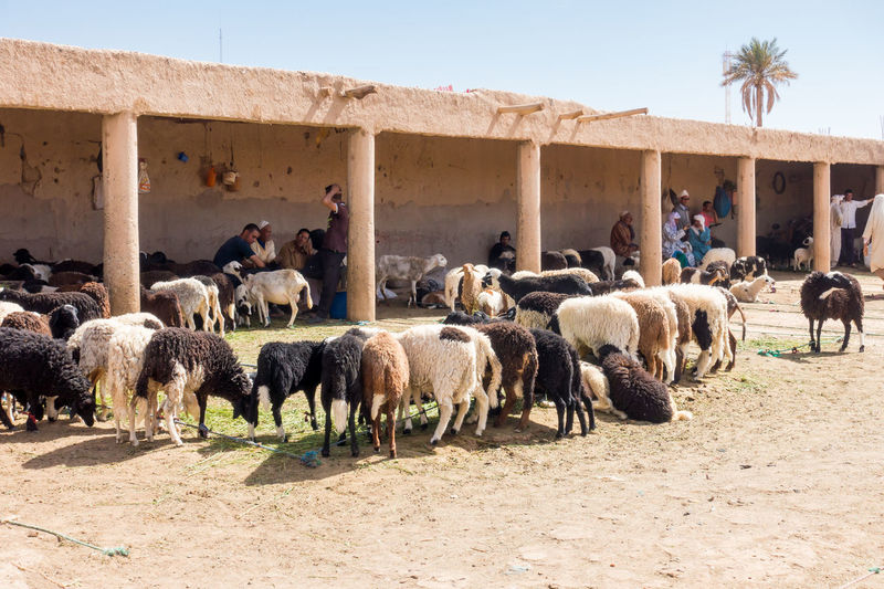 Moroccan Traders at the Sheep Market in Morocco Buying Parts Market Morocco Rissani Travel Vendors Animal Cattle Flock Of Sheep Livestock Mammal Outdoors Selling Sheep