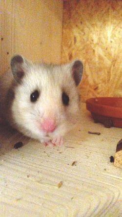 Frida Hamster(:  Unsere Haustiere Haustiere My Hamster *-* My Hamster Hamstertime Hamster ♡ Hamster Love Haustier Meine Haustier