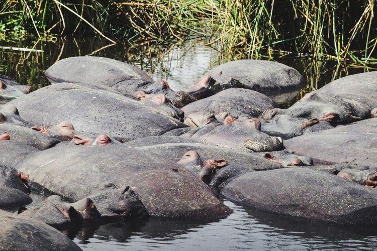 Close-Up Of Hippopotamus In Water