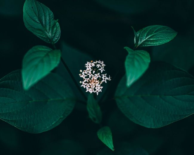 Beauty in nature. Green Leaves White Flowers White Flower Moody Tones Moody Nature Leaf Plant Part Plant Growth Green Color Nature Beauty In Nature Close-up Flower High Angle View Flowering Plant Outdoors Vulnerability  Freshness Leaves Fragility Directly Above Blue No People Night